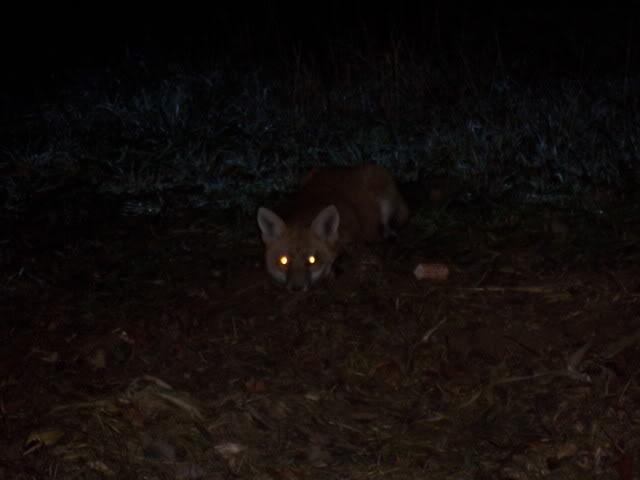 fox eyes in thr dark