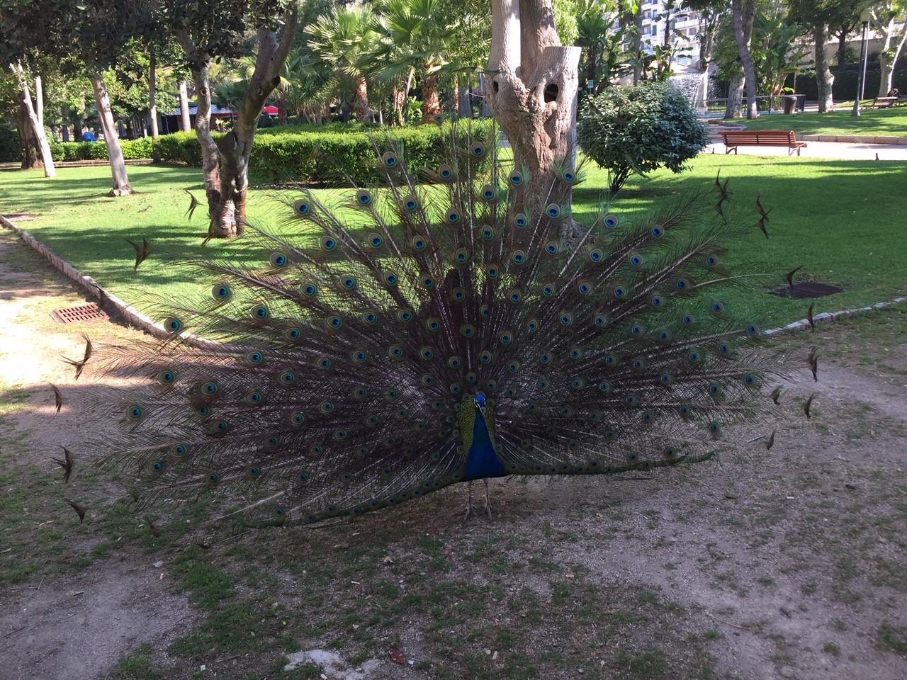 Peacocks in Faro